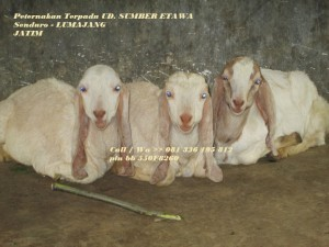 jual bibit kambing etawa senduro