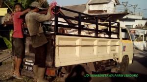 Kambing Kurban murah langsung dari peternakan.